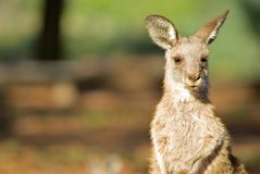 Eastern grey kangaroo Stock Photo