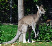 Eastern Grey Kangaroo Royalty Free Stock Photography