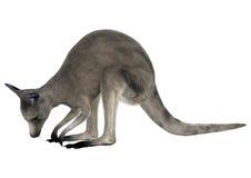 Eastern Grey Kangaroo Royalty Free Stock Photo
