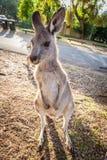 Eastern grey kangaroo. Eastern grey kangaroo vertical portrait at sunset Stock Photo