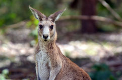 Eastern grey kangaroo female Royalty Free Stock Images