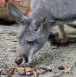 Eastern grey kangaroo 1 Royalty Free Stock Images
