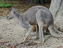 Eastern grey kangaroo 2 Royalty Free Stock Image