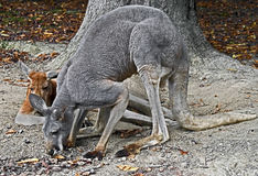 Eastern grey kangaroo 3 Royalty Free Stock Images