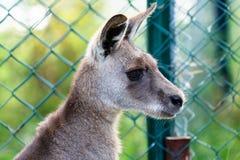 Eastern Grey Kangaroo Stock Images