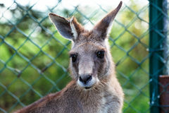 Eastern Grey Kangaroo Royalty Free Stock Photos