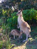 Eastern grey kangaroo with Joey. An Eastern grey kangaroo with a suckling Joey Royalty Free Stock Images