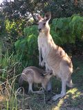 Eastern grey kangaroo with Joey. An Eastern grey kangaroo with a suckling Joey Stock Photography