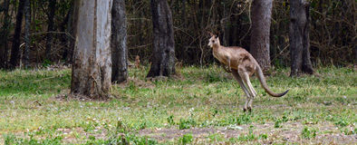 Eastern grey kangaroo jumps Stock Photo