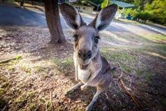 Eastern grey kangaroo, looking at you. Eastern grey kangaroo in a funny pose looking at you Stock Photography