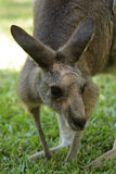 Eastern Grey Kangaroo (Macropus giganteus) Royalty Free Stock Photography