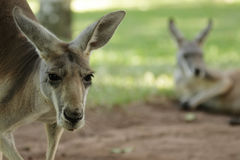 Eastern Grey Kangaroo (Macropus giganteus) Stock Photo