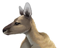 Eastern grey kangaroo - Macropus giganteus Royalty Free Stock Images