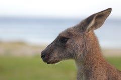 Eastern Grey Kangaroo (Macropus giganteus) Royalty Free Stock Photography