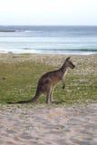 Eastern Grey Kangaroo (Macropus giganteus) Stock Images