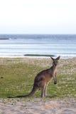 Eastern Grey Kangaroo (Macropus giganteus) Royalty Free Stock Image