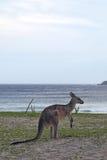 Eastern Grey Kangaroo (Macropus giganteus) Royalty Free Stock Photos