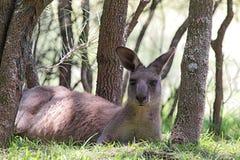 Eastern Grey Kangaroo (Macropus giganteus) Royalty Free Stock Images