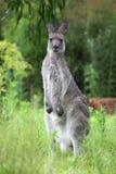 Eastern Grey Kangaroo (Macropus giganteus) Stock Image