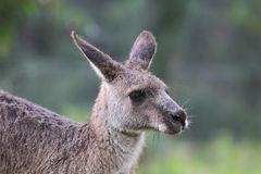 Eastern Grey Kangaroo (Macropus giganteus) Stock Photography
