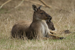 Eastern Grey Kangaroo (Macropus Giganteus) Stock Images
