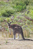Eastern Grey Kangaroo (Macropus giganteus) Stock Photo