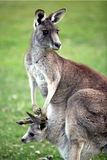 Eastern Grey Kangaroo. Mother with joey in pouch of an Australian eastern grey kangaroo Royalty Free Stock Photos