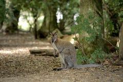 An Eastern Grey Kangaroo Royalty Free Stock Image