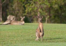 Eastern grey kangaroos Stock Photo