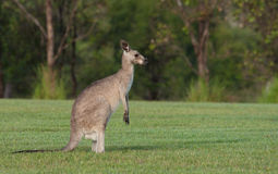 Eastern grey kangaroos Stock Photos