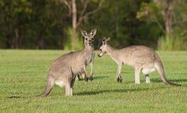 Eastern grey kangaroos Royalty Free Stock Photos