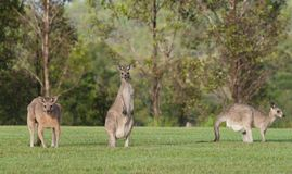 Eastern grey kangaroos Stock Photography