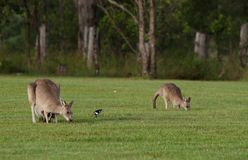 Eastern grey kangaroos Stock Images