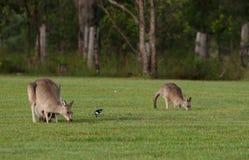 Eastern grey kangaroos Stock Images