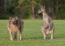 Eastern grey kangaroos Stock Photos