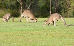 Eastern grey kangaroos Royalty Free Stock Photo