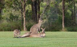 Eastern grey kangaroos Royalty Free Stock Photography