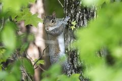Eastern Gray Squirrel on a Sweetgum tree in Georgia stock images