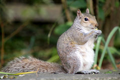 Eastern Grey Squirrel Stock Image