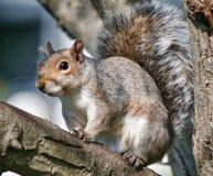 Eastern Grey Squirrel Stock Photos