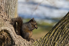 Eastern Grey Squirrel Royalty Free Stock Photos