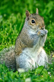 Eastern Grey Squirrel stock photo
