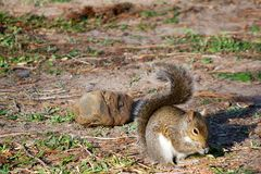 Eastern Grey Squirrel Eating. In the afternoon sun Stock Photography