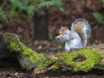 Grey Squirrel Eating Peanut on Moss Covered Log royalty free stock image