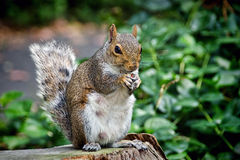 Eastern Grey Squirrel Stock Images
