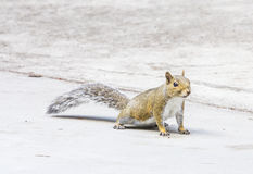 Eastern Grey Squirrel Florida Royalty Free Stock Image