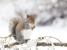 Grey Squirrel Eating Peanut on Snowy branch 2 royalty free stock photography