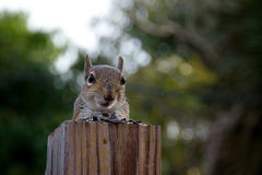 Eastern grey squirrel looking at viewer Stock Photos