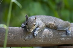Eastern grey squirrel lounging on a fence rail facing viewer stock photography