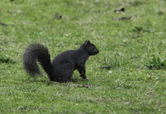 Eastern Grey Squirrel with melanism Royalty Free Stock Image